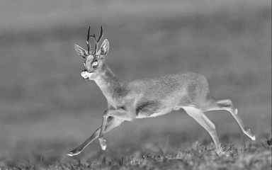 thermal image of a deer